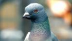 Pigeon Simulator - News